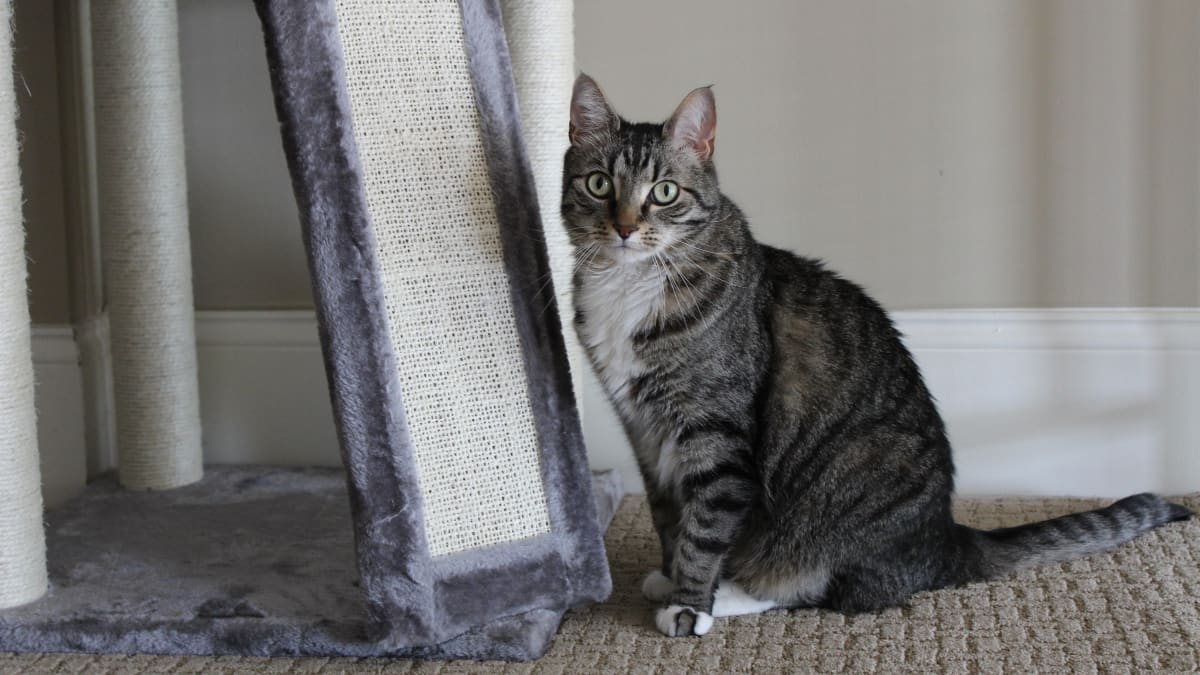 Frisco Cat Tree and Condo review: This one product got my cat to stop clawing the couch